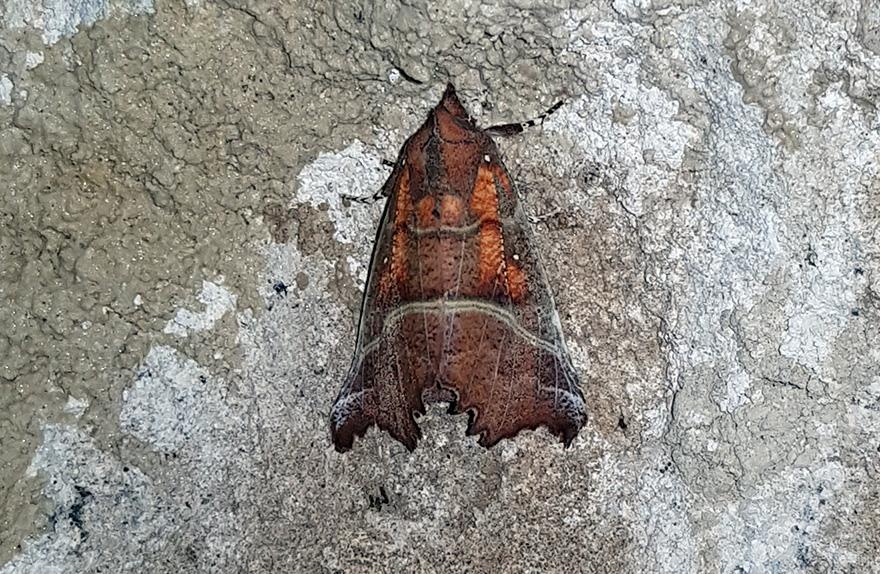 Eine Zackeneule (Scoliopterix libatrix) in der Oberen Eiseehöhle. Foto: 28. Sept. 2017, Martin Trüssel.