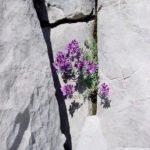 Linaria alpina im Graustockkarst.