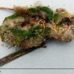 Fledermaus-Mumie mit unerklärlichem grünem Belag.