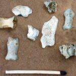 """33'000 Jahre alte Knochen des """"Frutt-Bärli"""", entdeckt in der Neotektonikhöhle der Melchsee-Frutt."""
